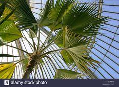 http://c8.alamy.com/comp/B47NNG/loulu-palm-aka-loulou-lelo-palm-molokai-fan-palm-and-hillebrand-palm-B47NNG.jpg