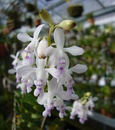 Epidendrum endresii Syn.: Oerstedella endresii; Epidendrum adolphii; Oerstedella adolphii February 17, 2014