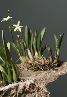 Laelia fournieri - Orchid Forum by The Orchid Source