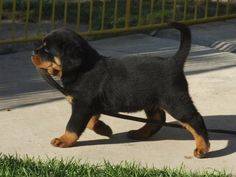 GRRR… rottweiler puppies!