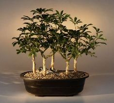Hawaiian Umbrella Bonsai Tree Five Tree Forest Group *** Continue to the product at the image link.