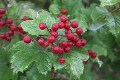 These shrubs and trees produce attractive flowers that develop into a colorful berries, which will attract songbirds and other birds to your backyard.