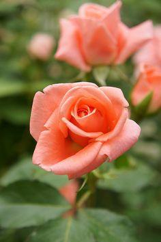 Rose Sonia