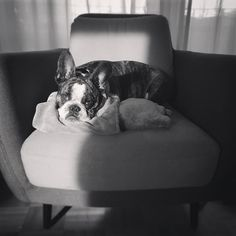 My Favorite place to be after a long Walk   #imadogaholic #flatnosedogsociety #ohmydogmag #fab_frenchies #frenchiesofinstagram #frenchbulldoglovers #bulldoguefrançais #ig_bullys #frenchies1 #dailyfrenchie #dog_features #featuremydogz #frenchiesoverload #batdogsfeature #lacyandpaws #squishyfacecrew #ruffpost #LOVEABULLY #bullyinstafeature #frenchielove #french_bulldogs #frenchielove_feature @dogs.lovers #mannyandfriends #thefrenchielove #hankandhound #houndsbazaar #blackandwhitephotography by…