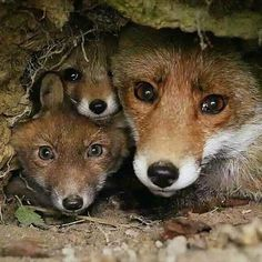 Wild Animals Pictures, Fox Pictures, Cute Animal Pictures, Cute Baby Animals, Animals And Pets, Beautiful Creatures, Animals Beautiful, Fennec, Photo Animaliere