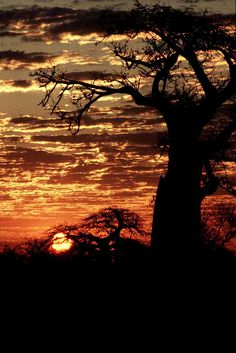 The sun slips from sky and disappears from the Zimbabwean bushveld.   With the boabab trees in silhouette you can almost hear the first sounds of the African night.