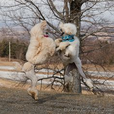 chest bumping poodles