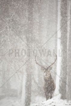 Red Deer in Heavy Snowfall - Tapetit / tapetti - Photowall