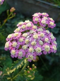 Achillea Summer Pastels Yarrow | achillea millefolium summer pastels