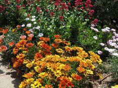 plante-plein-soleil-gazanie-Gazania-associés-autres-fleurs-blanc-rouge