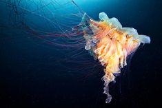 Russian marine biologist and underwater photographer Alexander Semenov remarkable image of jellyfish.