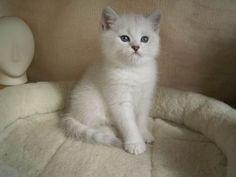 british shorthaired kitten silver shaded