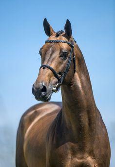 Belgian Sport Horse stallion Vivaldi du Seigneur