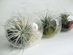 Set of 3 Small Glass Terrariums with moss and air plants. $34.00, via Etsy.