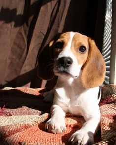 Beagle Puppy .Lexa