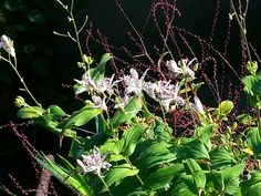 Trycirtis hirta e Persicaria filiformis