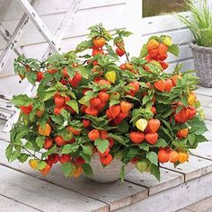 chinese lantern plant in container pot - Google Search