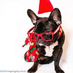 Santa French Bulldog!