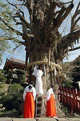 Tsuraugaoka Hachimangu Shrine Ginkgo tree