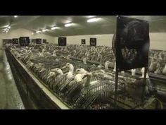 Foie Gras: Cruelty to Ducks and Geese | Ducks and Geese Used for Food | Factory Farming: Misery for Animals | The Issues | PETA