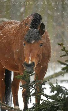 Winter bay horse, whadda cute face