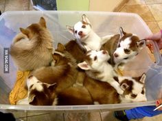 A tub of baby Huskies walked by at the vet today.