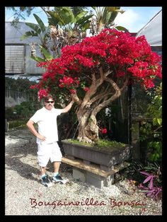 Bougainvillea Specimen Bonsai Tree 0356
