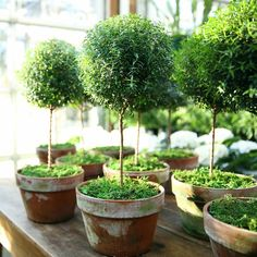 Myrtle Topiary, Large