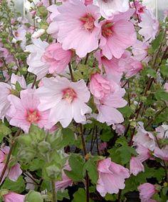 Lavatera × clementii 'Barnsley' - a mallow  shrub