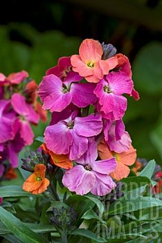 erysimum winter orchid - Google Search