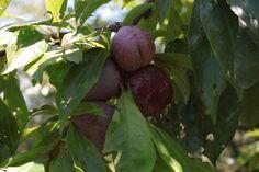 Susine Bio Organic Plums Mirabelles bio