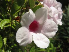 White flowers on a vine. Discover more of paradise perfected at The Dana - http://www.thedana.com