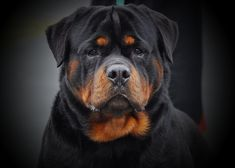 Rottweiler Rottweiler Breeders, German Rottweiler, Rottweiler Love, Big Dogs, Cute Dogs, Dogs And Puppies, Doggies, Pitbull, Real Dog