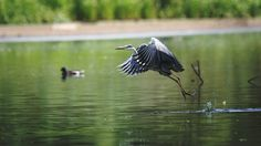 The grey heron - The grey heron like a helicopter taking off