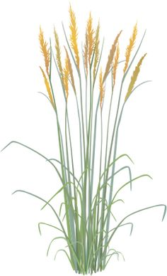 Sorghastrum nutans (Indian Grass) - Grasses/Herbaceous Plants - Vector Illustration/Drawing/Symbol (SVG) - IAN Image Library - Free High Resolution and Vector Environmental Science Images Long Blooming Perennials, Hardy Perennials, Flowers Perennials, Planting Flowers, Perennials Fabric, Photoshop, Grass Drawing, Shrubs For Landscaping, Perennial Vegetables