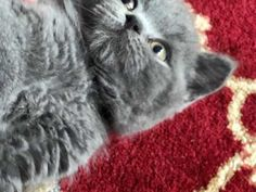 Gorgeous Blue BSH Boys for sale   Birmingham, West Midlands   Pets4Homes Pet Breeds, Puppy Breeds, Cat Skin, British Shorthair Kittens, Kitten For Sale, Animal Activities, West Midlands, Large Animals