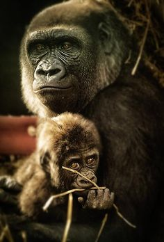 Mother and Baby Gorilla    by Digimist