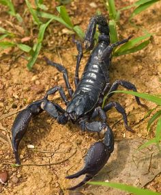 ˚Asian Forest Scorpion - Thailand