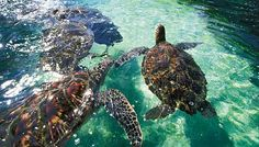 Swimming with the Sea Turtles at Hilton Waikaloa on the Big Island was one of the greatest experiences of my life!