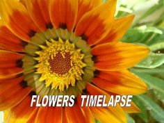 Flowers  imelapse  Collection by Gyula Dio  via slideshare