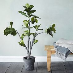 Image result for fiddle plant