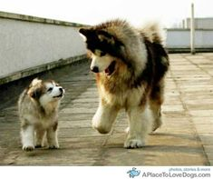 Malamute mother and pup Animals And Pets, Baby Animals, Funny Animals, Cute Animals, Cute Puppies, Cute Dogs, Dogs And Puppies, Doggies, Photo Chat