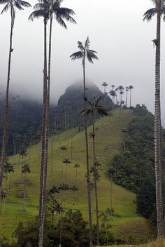 Valle de Cocora, Colombia -tallest palm trees in the world. The wax palm has an extremely slow growth and can live up to a hundred years.