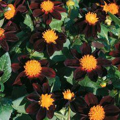 Dahlia 'Black Beauty' - Half-hardy Annual Seeds - Thompson & Morgan Worldwide