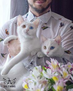 gatas gemeas olhos heterocromáticos (11)