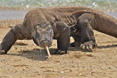 komodo dragon-Komodo dragons will eat anything in their path, including humans. They are notoriously good hunters; they stalk their prey, rip their throats out, then retreat and wait for them to die.