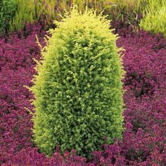 Gold Cone Juniper, zones 2-7, 15' tall 3' wide