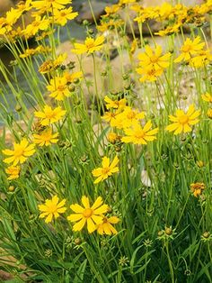 Large-Flowered Tickseed Genus: Coreopsis grandiflora Zones: 4-9 Bloom time: Continuous, May through August. To prune: After the flowers fade, cut the stems down to the side shoots. Good to know: A prairie flower, tickseed tolerates heat, drought, and humidity.