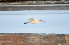 Great Egret flying over frozen river in sunlight in the winter - Great Egret flying over frozen river in sunlight in the winter.