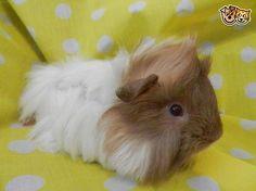 7 week old Peruvian male - baby guinea pig